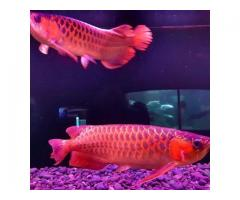 Quality Asian Red Arowana,Albino Stingray fish for sale