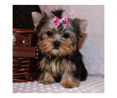 Well Tammed Yorkshire Terrier Puppies