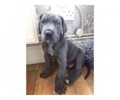 AKC Reg Great Dane Puppies Ready To Go