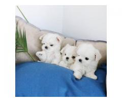 Full Blooded Maltese puppies for Re-homing