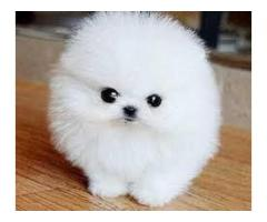 Cute Pomeranian puppies for Re-homing.