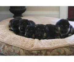 German Shepherd puppies for Re-homing