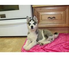 Blue Eyes Siberian Husky puppy Girl