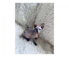 Sphynx and Bengal  kittens available for adoption