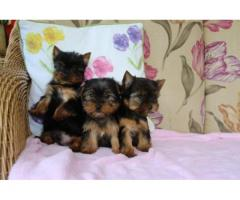 AKC registered male and female Yorkie Puppies