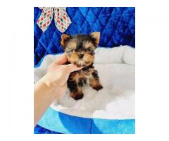 High Quality Male And Female Yorkie Puppies For Sale